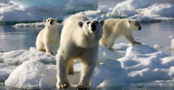 BBC's Frozen Planet - Polar Bears