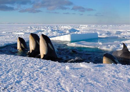 """BBC's """"Frozen Planet"""" - Killer Whales"""