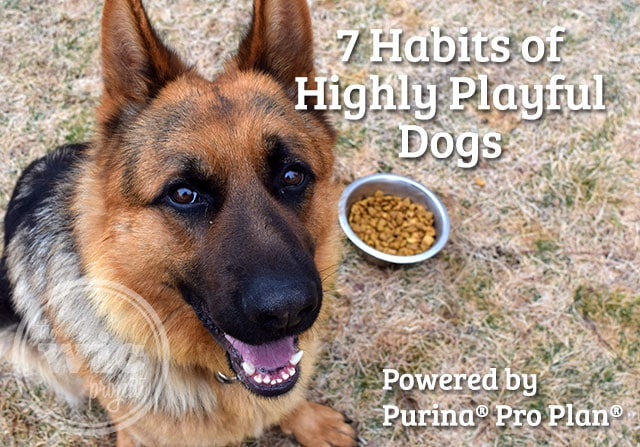 7 Habits of Hightly Playful Dogs Powered By Purina Pro Plan